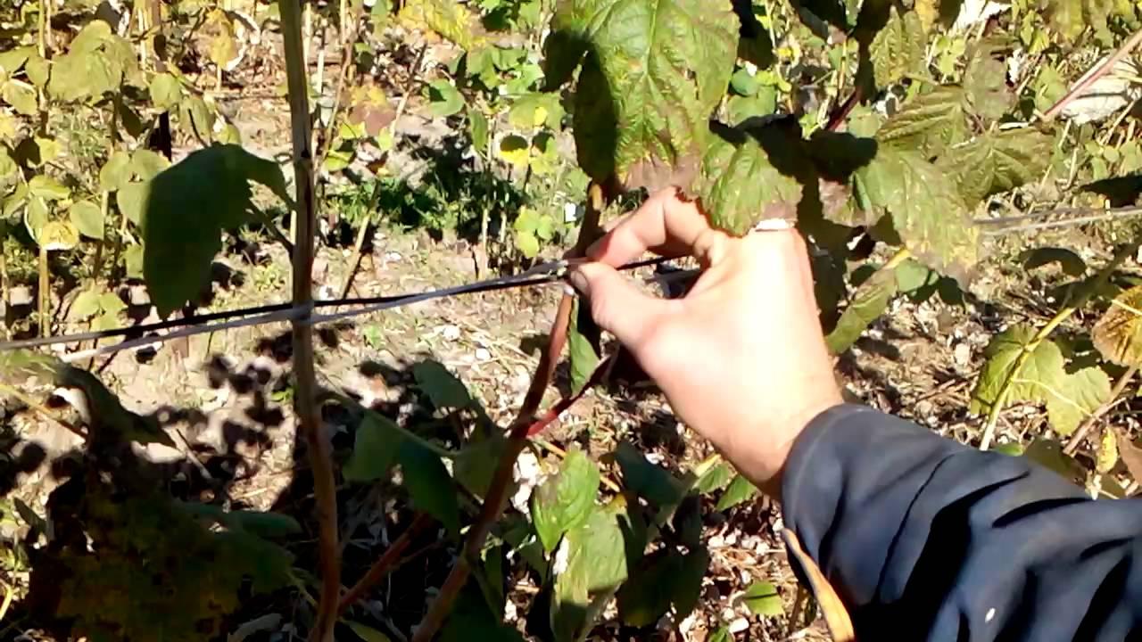 Как подвязать малину