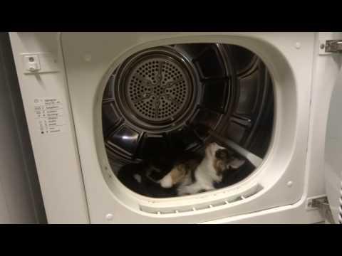 Roliga katter - kattungen Sally jagar sin svans i torktumlaren