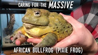 """Setting Up a Truly GIANT Frog: Meet my New 7"""" AFRICAN BULLFROG!"""
