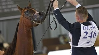 Dubai International Arabian Horse Fair: a showcase of beautiful horses