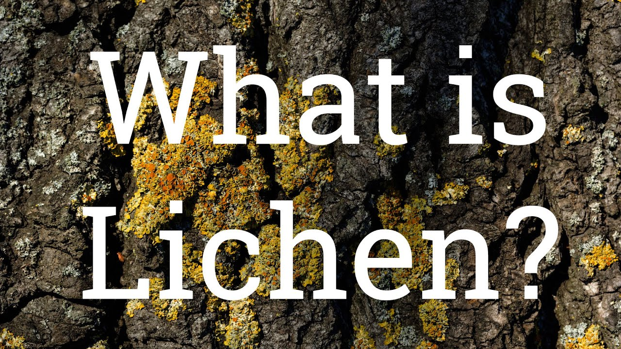 What does lichen look like