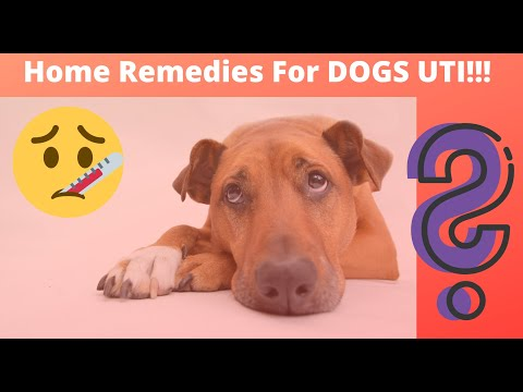 🔥tips-and-complete-guide-home-remedies-for-dogs-uti-👍