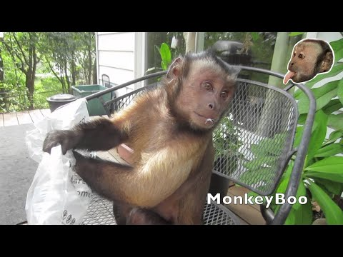 Capuchin Monkey Opens Packages of Cool Toys!