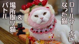 ロールケーキになったオッサン猫と猫バトル【Scottish Fold】