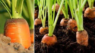 Блестящая идея | Как вырастить морковь дома, чтобы произвести много луковиц