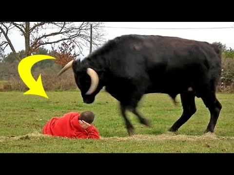 Мужчина спас быку жизнь. Вот как животное ему отплатило!