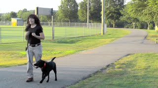 Puppy Training, Scarlett, Lab, Day 11: Loose Leash At Park, Off Leash Recall