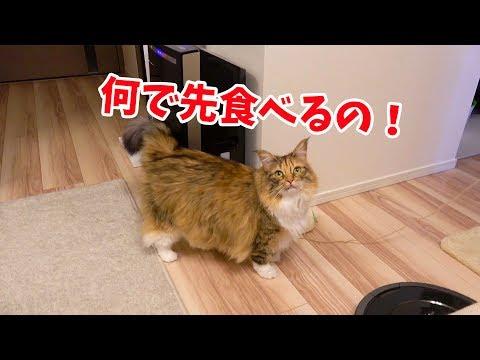 ペットより先にご飯を食べたら猫激怒!