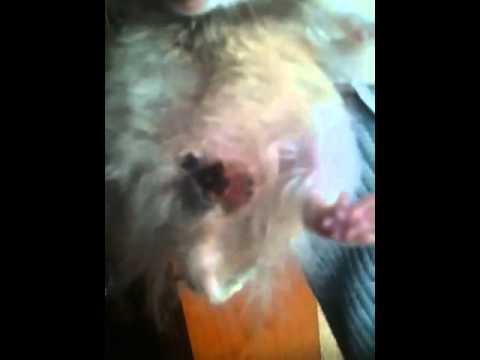 Hámster con un tumor en los testiculos - YouTube
