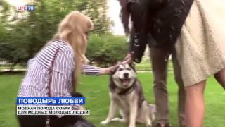Хаски - поводырь любви: модная порода собак для модных молодых людей