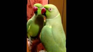 Ожереловый попугай Кузя