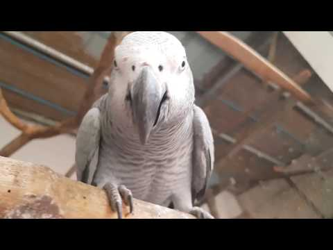 African Grey Parrots Breeding / Foods / Cages / Care / Treatment / Breeding Box Tips