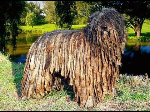 Как выглядят породы собак ( Бергамская овчарка (бергамаско))
