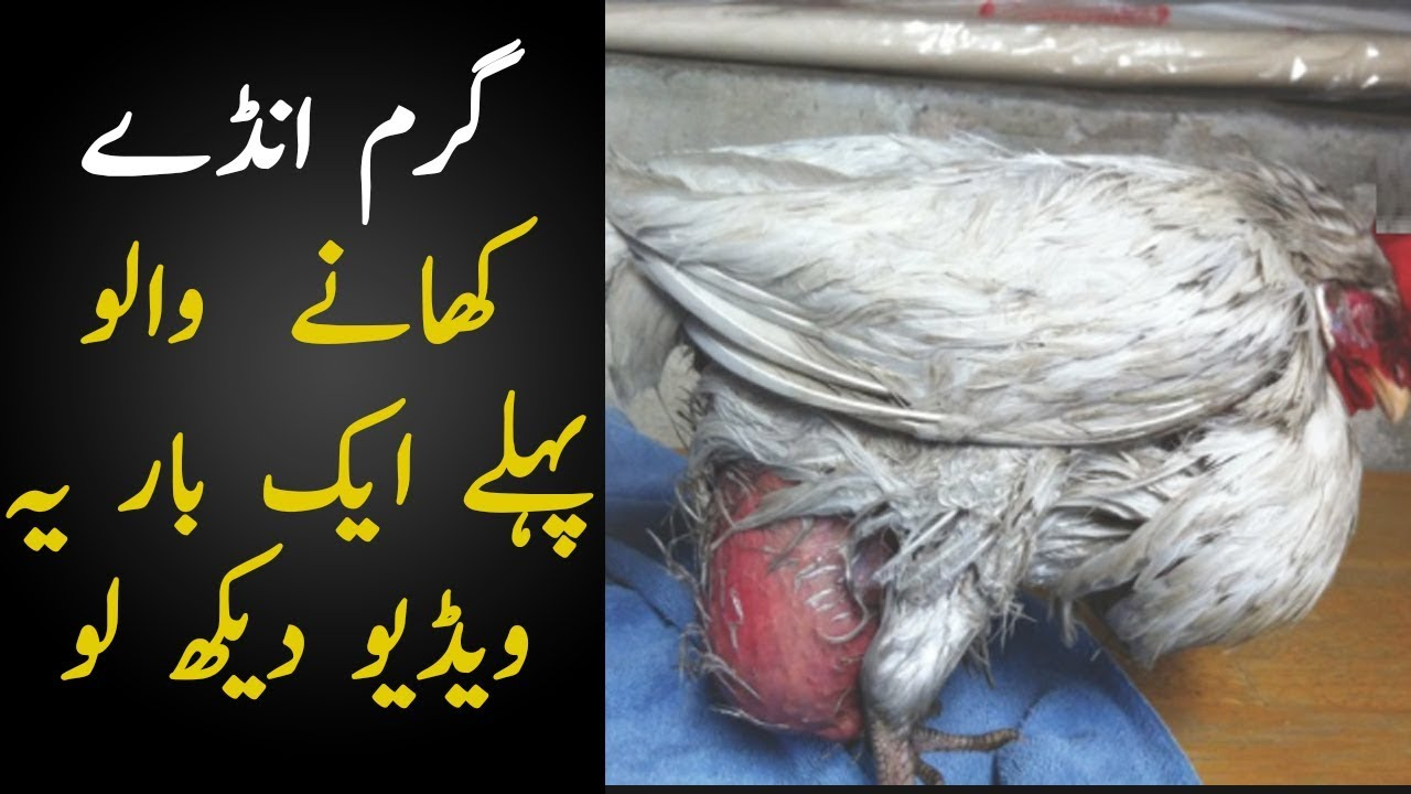 The Reality of Poultry Farms In Pakistan | How Chickens Are Made These Days  | TUT