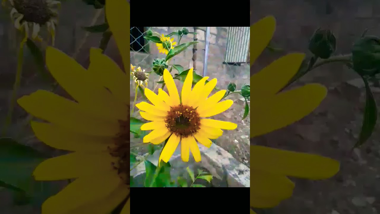 Beauty Of Yellow Colour Flowers Youtube