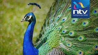President Magufuli gifts Uhuru with peacocks after private visit in Tanzania