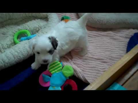 Coton de Tulear pup Gabrielle at 3.5 weeks - 2nd video