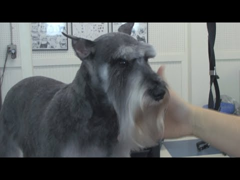 How to Groom a Schnauzer  DoItYourself Dog Grooming