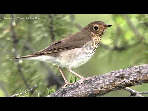 Swainson's Thrush Song