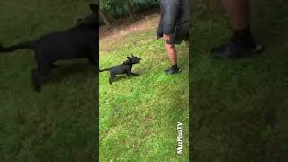Awesome puppies working