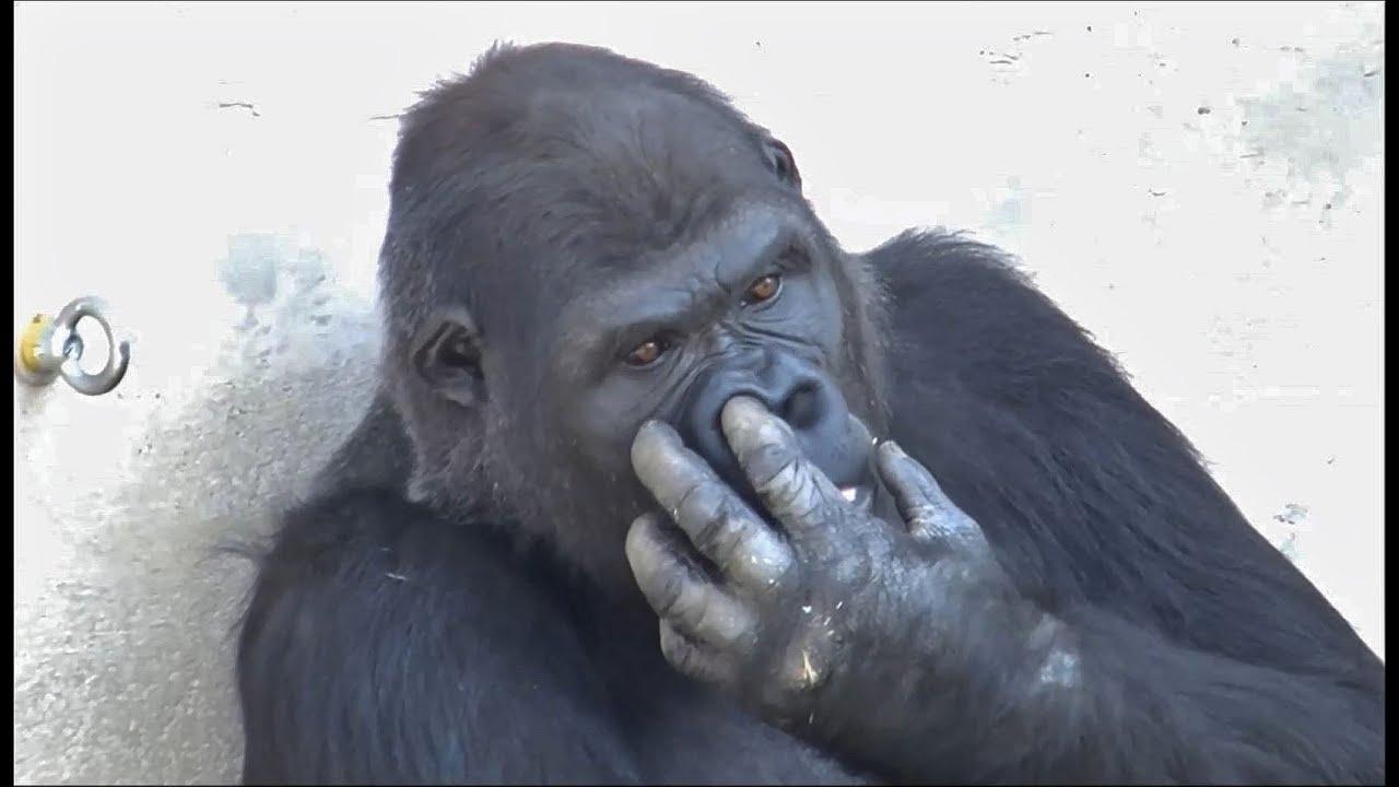 「ゴリラの鼻くそ」の画像検索結果