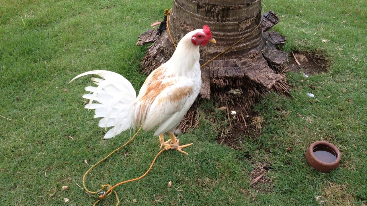 White Kelso Rooster | Consolacion, Cebu, Philippines - YouTube