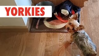 Breed All About It: Yorkies