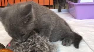Русские голубые котята! Питомник Ruzara ❤️