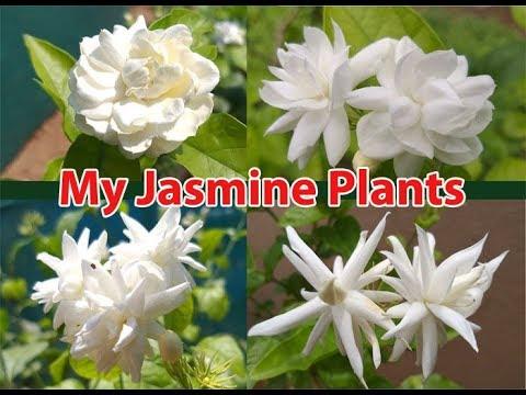 My Collection of Rare Fragrant Arabian Jasmine- Grand Duke plants..