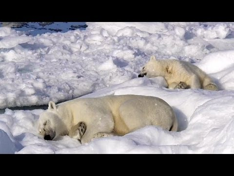 Polar Bears Sleeping: To The Arctic IMAX 3D