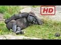 Funny Gorillas Videos Compilation 2017 [NEW]
