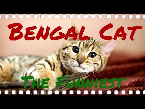 Bengal Cat Funniest