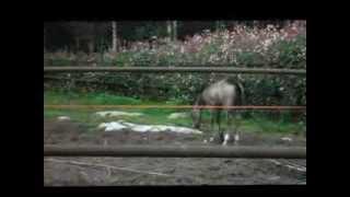 Hevonen kirmaa kuvassa