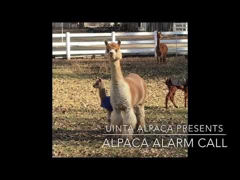 Alpaca Alarm Call
