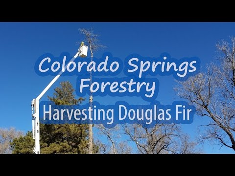 Colorado Springs Forestry - Harvesting Douglas Fir