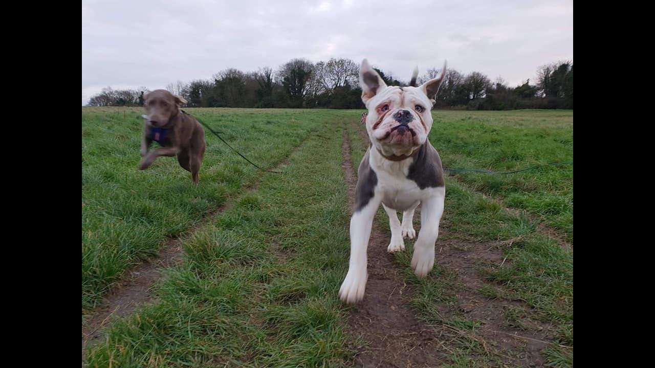 herbert - 15 month old, old tyme bulldog - 3 weeks residential dog training