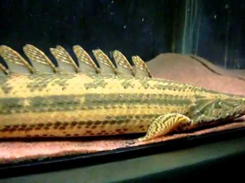 Polypterus Bichir Nile Bichir Aquainfo