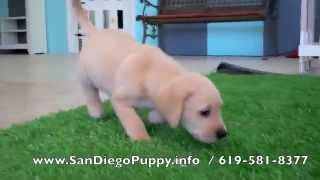 San Diego Lab Puppies For Sale! 619-581-8377