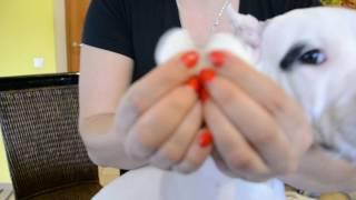 Как поставить купированные уши у аргентинского дога, питомник Mary M Style
