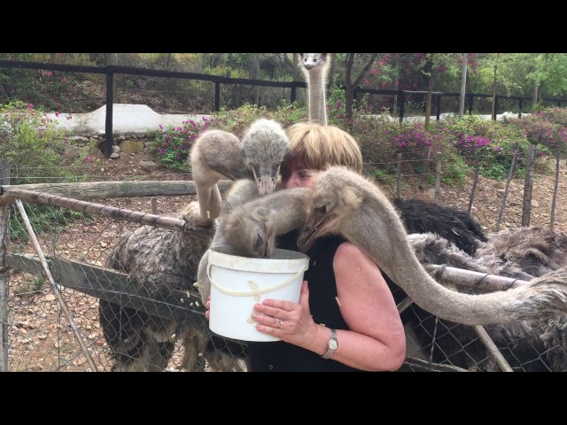 Woman Feeds Many Ostriches