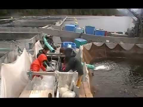 Kyuquot Multi Trophic Aquaculture Grade to Harvest 2