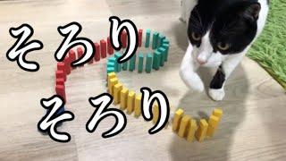 猫はドミノを倒さない!?はちぼ〜くんがいざチャレンジ!