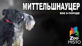 Актуальная информация о наличии щенков миттельшнауцера. Предлагаем щенков миттельшнауцера окраса «перец с солью» из профессионального.