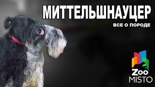 Миттельшнауцер - Все о породе собаки | Собака породы Миттельшнауцер