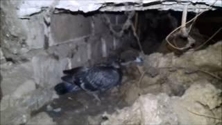 голуби на чердаке жилого дома