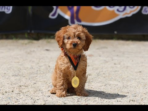 Reagan - 9 week old Cavapoo Puppy - 2 Weeks Residential Dog Training