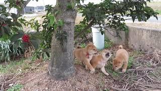 畑で楽しそうに遊ぶ山陰柴犬の子犬3兄妹。