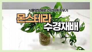 몬스테라 아단소니 수경재배식물 식물영양제로 건강하게 키…