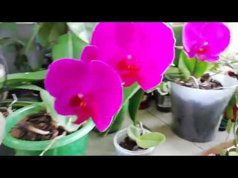 Как часто стоит поливать орхидею Фаленопсис?