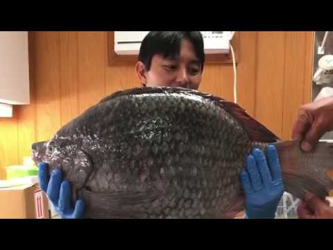 Hawaii Island Man Turns In 'monster' Pet Nile Tilapia To State DLNR